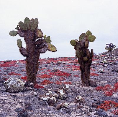 Baumopuntien umrahmt von roten Galapagos-Sesuvien - p9791831 von Strazar