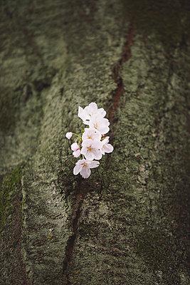 Cherry blossoms - p307m1006701f by Naho Yoshizawa