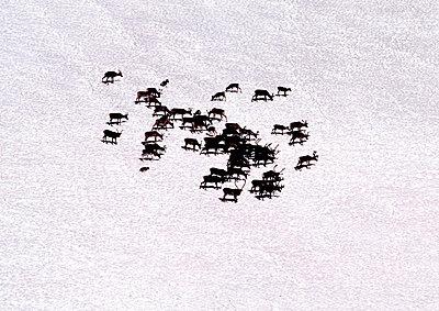 Raindeers on the snow. Lapland, Sweden - p3484247 by Björn Wiklander