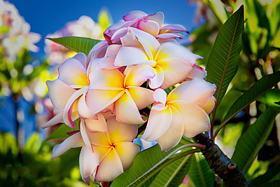 Close-up of pink plumeria flowers and blue sky; Lanai, Hawaii, United States of America - p442m1448903 by Jenna Szerlag
