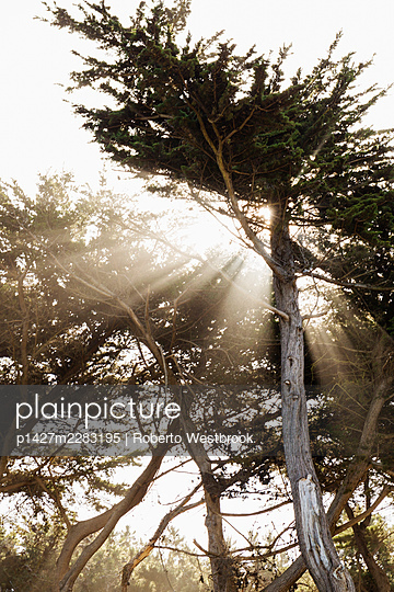 Sun shining through trees, Point Lobos, Sutro Baths, Lands End Trail, San Francisco,  California, USA - p1427m2283195 by Roberto Westbrook