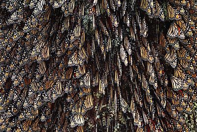 Monarch butterflies, Danaus plexippus, Michoacan, Mexico - p1100m876654f by Frans Lanting