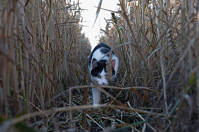 Katze im Kornfeld - p896m834585 von Sabine Joosten