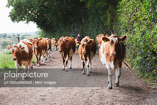 Herd of Guernsey cows being driven along a rural road.  - p1100m2085043 by Mint Images
