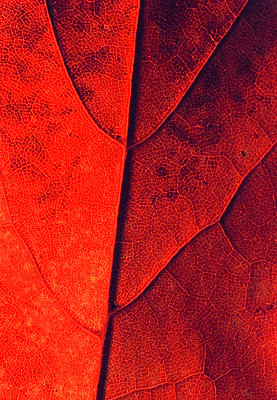 Red leaf close-up - p1418m1571786 by Jan Håkan Dahlström