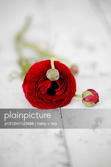 Rote Ranunkel - p1212m1123466 von harry + lidy
