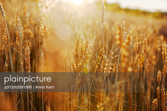 Wheat field - p312m2091995 by Anna Kern