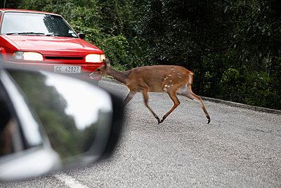 Deer crossing road - p301m894529f by Marc Volk