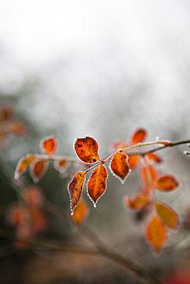 Les feuilles du rosier givrées - p927m1203273 by Florence Delahaye