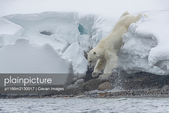 a polar bear walk down a ledge of snow to reach the shore - p1166m2130017 by Cavan Images