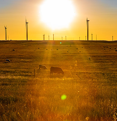 Colorado Wind Farm located on wheat field with cattle - p1166m2157364 by Cavan Images
