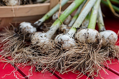 A bunch of freshly harvested garlic bulbs displayed on a red garden table - p1433m1582938 by Wolf Kettler