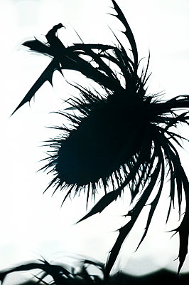 Silhouette of sea holly thistle head and leaves - p1047m2184940 by Sally Mundy