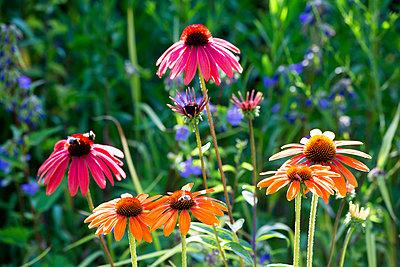 Botanic Garden, honeybees on coneflowers - p300m2062229 by Nabiha Dahhan