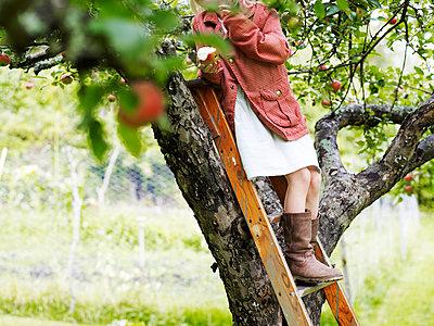 Girl on ladder picking apples, Varmdo, Uppland, Sweden - p312m897197 by Johner