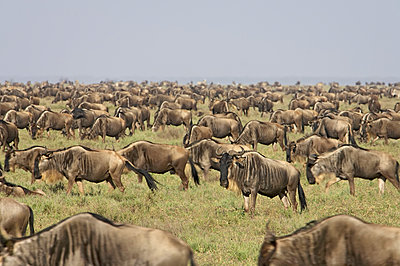 Herd of blue wildebeest (brindled gnu) (Connochaetes taurinus), Serengeti National Park, Tanzania, East Africa, Africa - p871m1073301f by James Hager