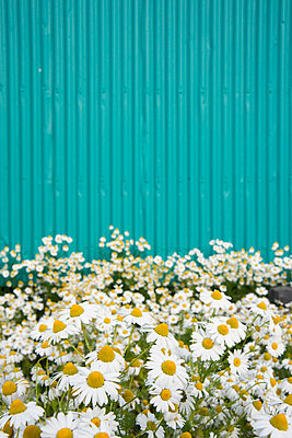 Camomile bloom - p954m729371 by Heidi Mayer