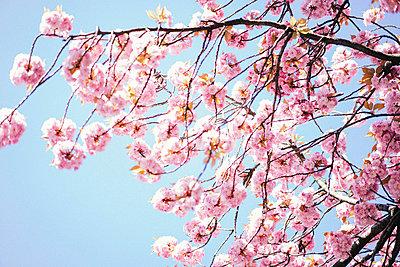 Herabhängender Zweig mit pinken Blüten - p1180m1020546 von chillagano
