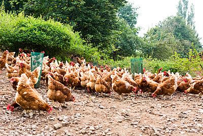 pickende Hühner  - p1388m1586920 von Julia Unkel
