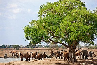 A herd of elephants at a waterhole in Tsavo East National Park. - p652m716801 by Nigel Pavitt