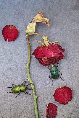 Scarabs and wilted rose - p971m2272649 by Reilika Landen