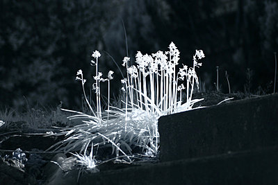 Infrared image of grass standing in sunlight - p1072m857328f by Michelle Kelly