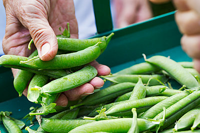 A person holding a handful of fresh picked garden pea pods.  - p1100m1178025 by Mint Images