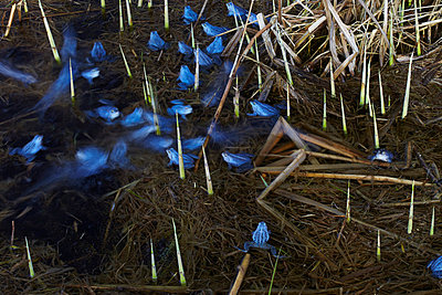 Blue frogs - p719m800703 by Rudi Sebastian