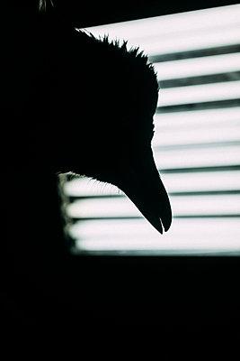Silhouette of a crow - p795m2228520 by JanJasperKlein