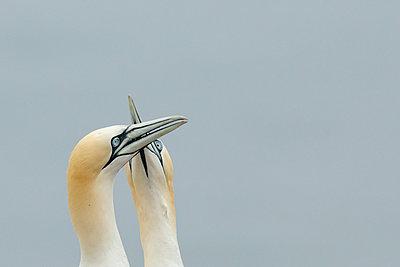 Germany, Schleswig-Holstein, Hegoland, northern gannets - p300m2213766 by Hans Clausen