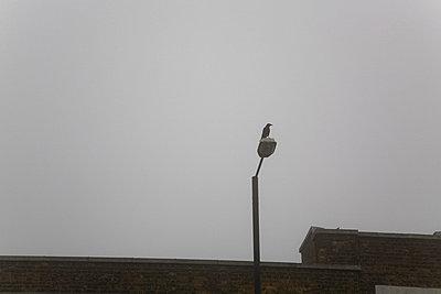 Crow sitting on lamppost in mist - p3881763 by Ulrike Leyens