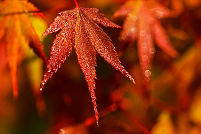 Japanese Maple (Acer palmatum) turning red in the autumn; Astoria, Oregon, United States of America - p442m1224987 by Robert L. Potts