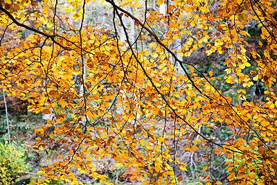 Backlit autumn leaves in Strid Wood - p8714176 by Mark Sunderland