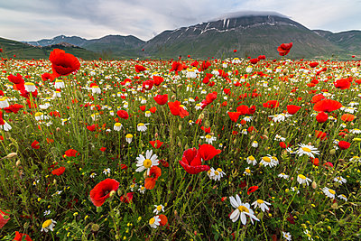 Red poppies and daisies in bloom, Castelluccio di Norcia, Province of Perugia, Umbria, Italy, Europe - p871m1197040 by Roberto Moiola