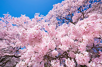 Cherry blossoms in full bloom and blue sky - p307m1495906 by MATSUO.K