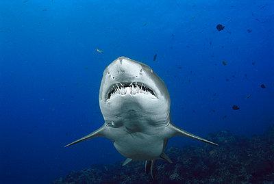 Grey Nurse Shark underwater portrait - p8841702 by Fred Bavendam