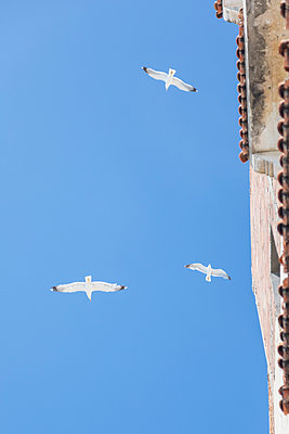 Morocco, flying seagulls, from - p300m2030051 von Michael Malorny