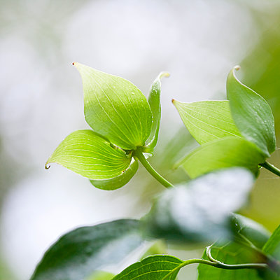 Close up of fresh green leaves on dogwood tree - p1023m1143022 by Marie Stone