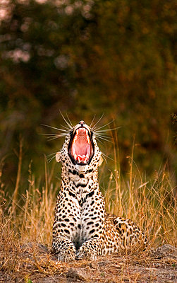 A leopard, Panthera pardus, lies down in sunlight, yawning. - p1100m2061200 by Londolozi Images