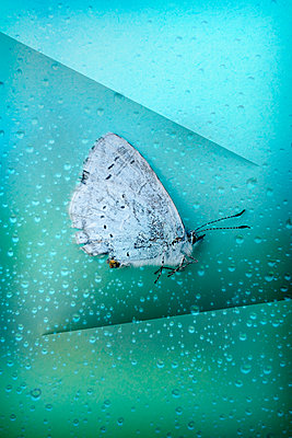 Blue butterfly on a wet window  - p1228m2110865 by Benjamin Harte