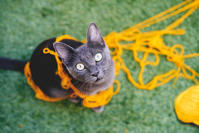 Russian blue tangled in yellow wool looking up to camera - p300m1068919f by Gemma Ferrando