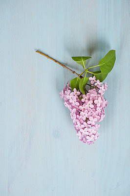 Cut Lilac flower on a blue background - p1047m1137553 by Sally Mundy