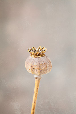 Close up of dried poppy seed head - p1470m1539175 by julie davenport
