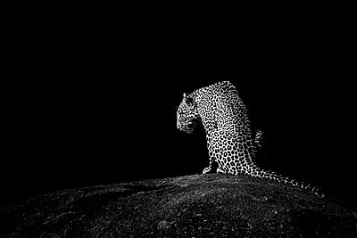 Leopard on a rock, Serengeti National Park, Tanzania, Africa, black and white - p651m2271104 by Paul Joynson Hicks photography