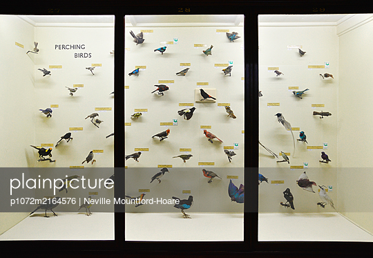 Birds on display in case - p1072m2164576 by Neville Mountford-Hoare