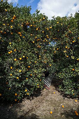 Hidden ladder in orange grove - p1134m1440770 by Pia Grimbühler