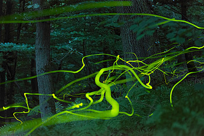 View of lighting trails of fireflies flying in twilight in a forest - p1144m967338 by Paul van Hoof
