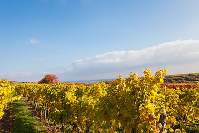Germany, Rhineland-Palatinate, vineyards in autumn colours, German Wine Route - p300m2042101 by Gaby Wojciech