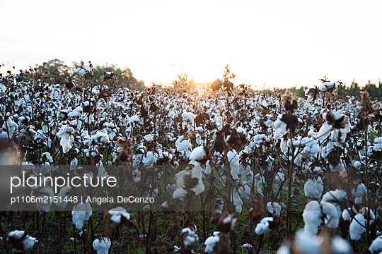 Field with ripe cotton - p1106m2151448 by Angela DeCenzo