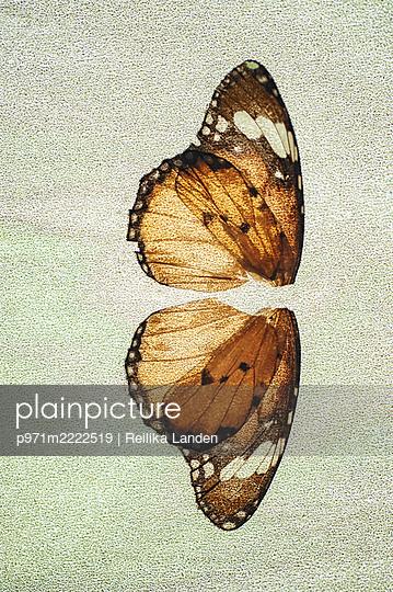 Butterfly wings - p971m2222519 by Reilika Landen